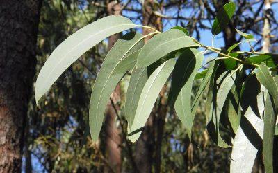 Lei ambiental leva Portugal a importar eucaliptos do Brasil