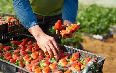 Mercadona aposta no morango português