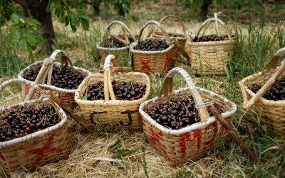 Continente compra 500 toneladas de cerejas do Fundão