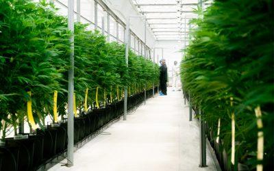 Clever leaves exporta o primeiro lote comercial de flor THC